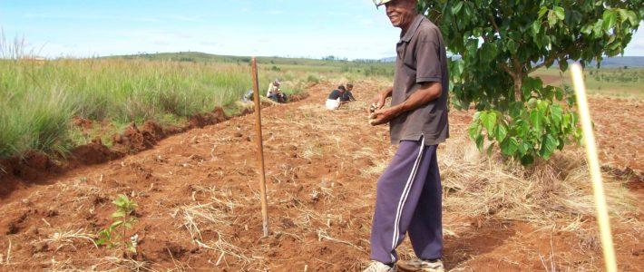 Plantation du manioc